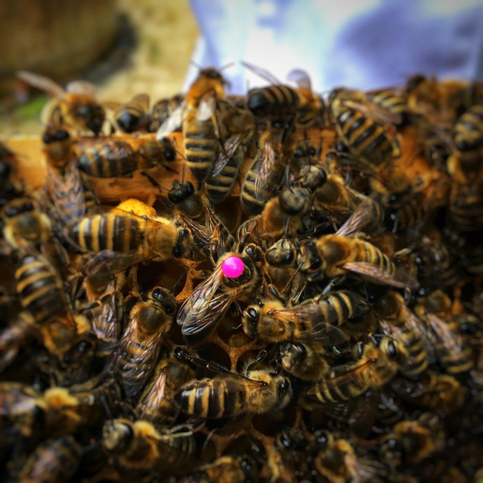 Bienenkönigin mit rotem Punkt auf dem Rücken aus dem Jahr 2018