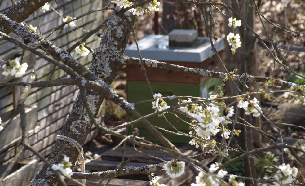 Kirschblüte und Bienenstock