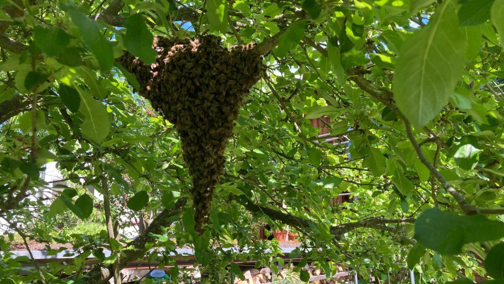 Bienenschwarm hängt im Apfelbaum