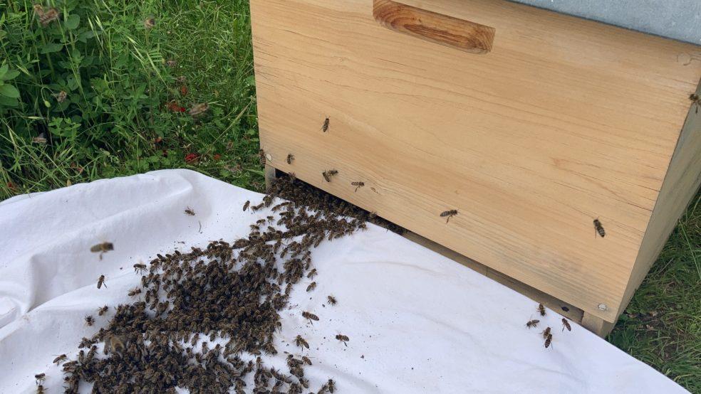 Einzug eines Bienenschwarms