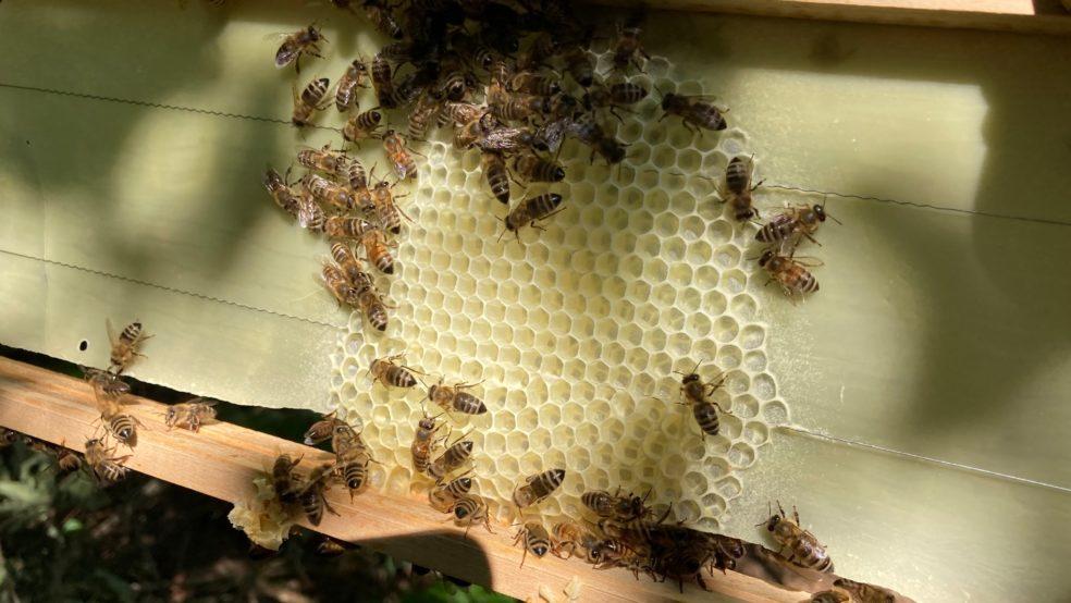 Bienen bauen glatte Mittelwände aus.